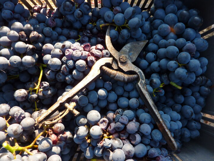 Winemaking waste shows antioxidant and anti-cholesterol benefits: Study
